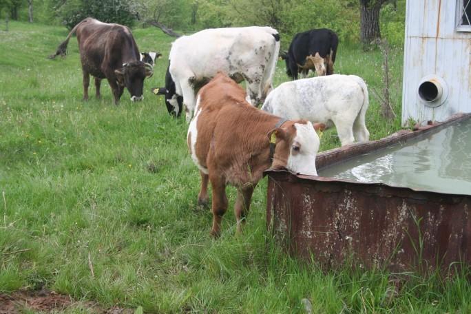 Am scos vacile la iarbă