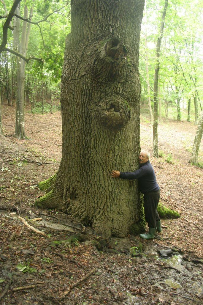 La copacul gros