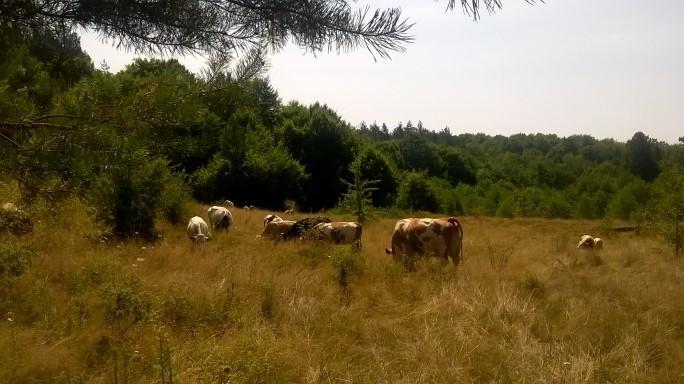 Cu vacile
