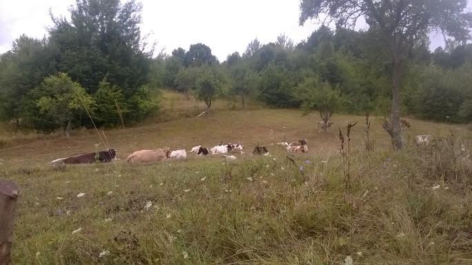 Cu vacile pe ploaie