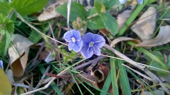 Floare albastră
