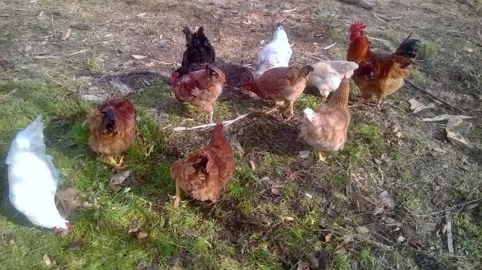 Găini