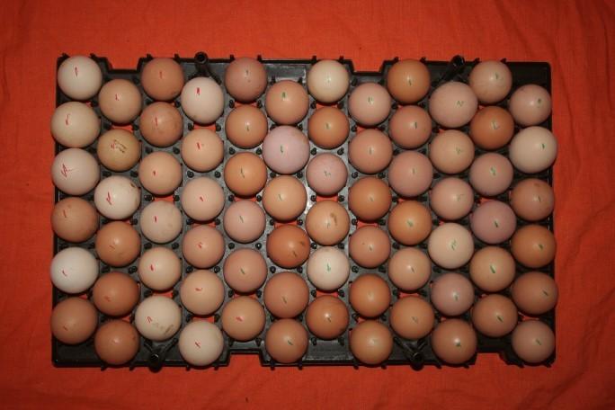 Tavă cu ouă